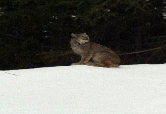 Snow was Ok in the morning .. Ran into a family of these lynx in the terrain Park pretty Sweet