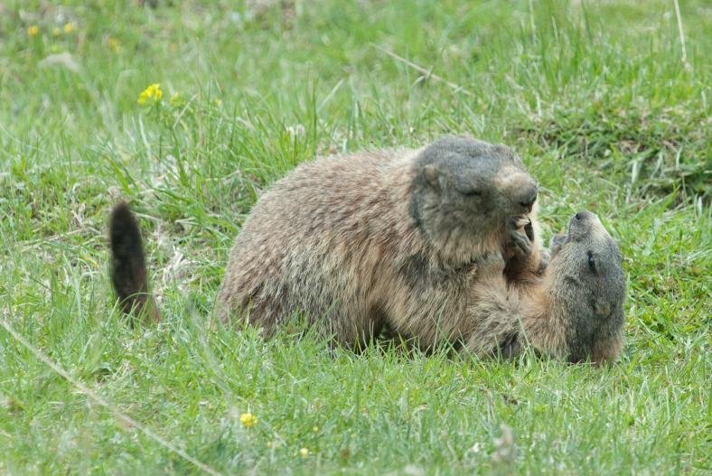 Marmots in the Swiss National Park