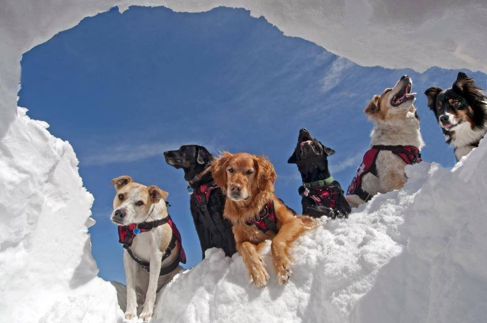 Breckenridge patrol dogs preparing for emergencies. - ©Breckenridge Ski Resort