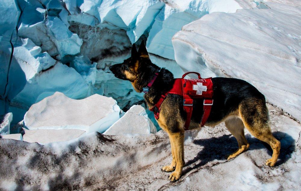 Cirrus, glacier dog to the rescue at Crystal Mountain in Washington.