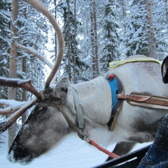 Reindeer safari in Lapland - ©Patrick Thorne