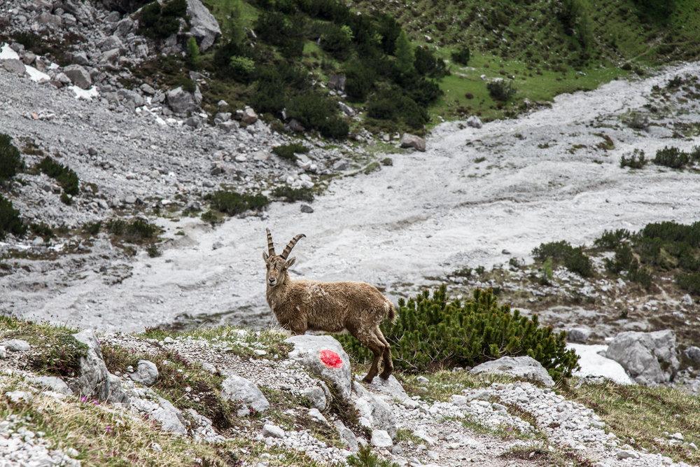 Neugierige Gams im Abstieg vom Anna-Klettersteig - ©Bergleben.de