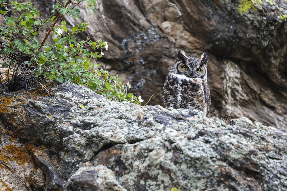 An owl, camouflaged by moss rock, sits watch in Rocky Mountain National Park. - © Liam Doran