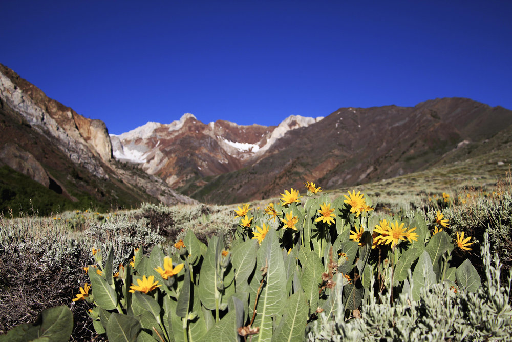 Wildflowers at McGee Creek in full bloom. - © Mammoth Lakes Tourism