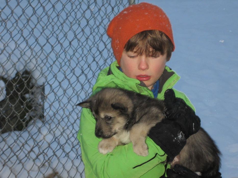 Dog-sledding puppy - © Patrick Thorne