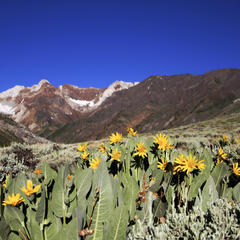 Wildflowers at McGee Creek - ©Mammoth Lakes Tourism